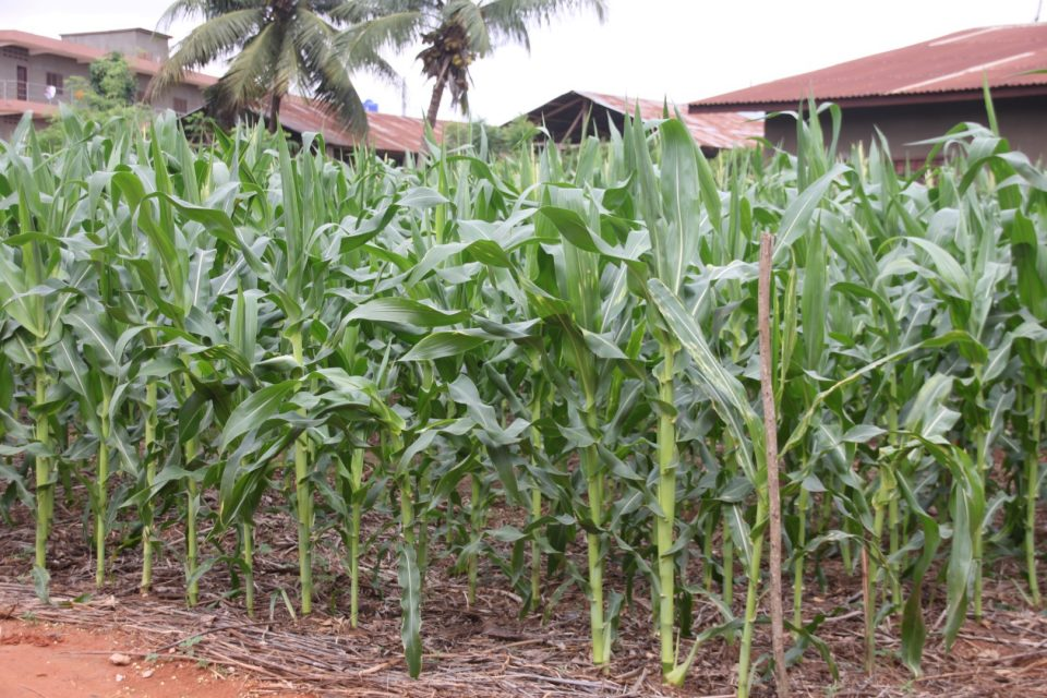 Expected impact of fertilizer in Nigeria