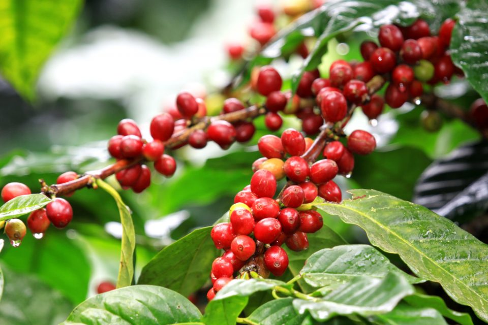 Value Chain Analysis Specialty Coffee Rwanda – July 2018